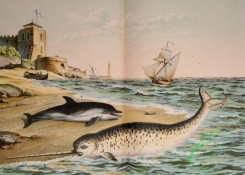 mammals_full_color-00428 - Narwhal, Dolphin