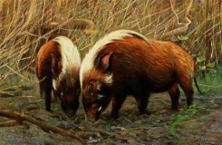 mammals_full_color-00449 - RIVER-HOG