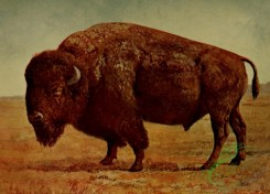 mammals_full_color-00457 - American Bison or Buffalo
