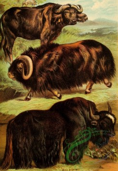 mammals_full_color-00474 - Musk Ox, Cape Buffalo, Yak
