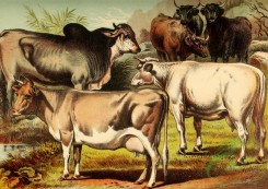 mammals_full_color-00479 - Zeby or Brahmin Bull, Alderney Cow, Scotch Cattle, Durham Cow