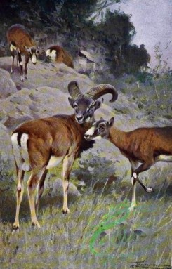 mammals_full_color-00484 - Mouflon
