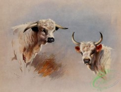 mammals_full_color-00500 - Chartley Bull, Chillingham Bull