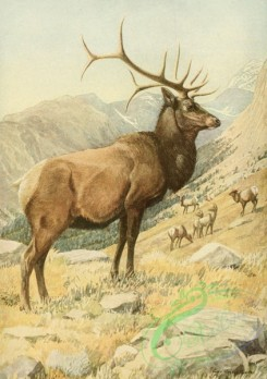 mammals_full_color-00522 - Wapiti or American Elk