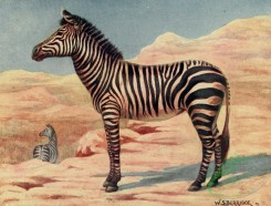 mammals_full_color-00527 - MOUNTAIN ZEBRA