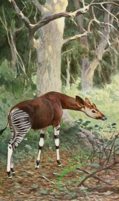 mammals_full_color-00538 - Okapi