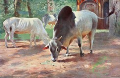 mammals_full_color-00551 - INDIAN HUMPED CATTLE