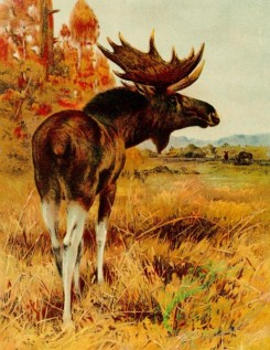 mammals_full_color-00555 - Bull Moose
