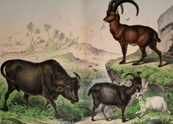 mammals_full_color-00564 - Buffalo, Goat, Ibex