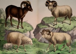mammals_full_color-00568 - Mouflon, Sheep, Merino Sheep