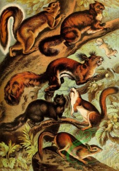 mammals_full_color-00622 - Hare Squirrel, Black Squirrel, Toguan Flying Squirrel, long Eared Squirrel, Red Squirrel, Ground Squirrel
