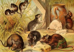 mammals_full_color-00623 - Harvest Mice, Water Rat, Barbary Mouse, Common Rats, Common Mice