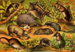 mammals_full_color-00625 - Pen Tailshrew, Tenrec, Otter Shrew, Hedgehog, Flying Lemur, Common Mole, Common Shrew, Star nose Mole, Squirrel Shrew, Elephant Shrew