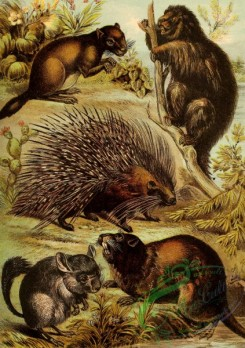 mammals_full_color-00628 - Viscacha, Chinchilla, Common Porcupine, Canadian Porcupine, Coypu