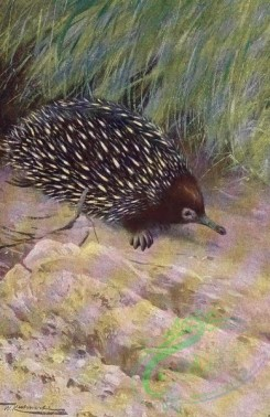 mammals_full_color-00633 - Spiny Ant-Eater or Echidna
