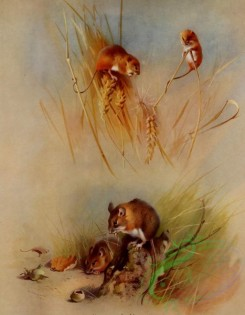 mammals_full_color-00654 - Harvest Mouse, Wood Mouse