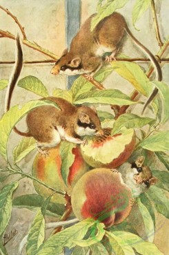 mammals_full_color-00668 - Garden Dormouse, eliomys quercinus