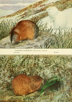 mammals_full_color-00679 - Banded Lemming, Brown Lemming
