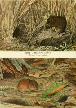 mammals_full_color-00684 - Field or Meadow Mouse, Pine Mouse