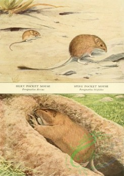 mammals_full_color-00700 - Silky Pocket Mouse, Spiny Pocket Mouse, Pocket Gopher