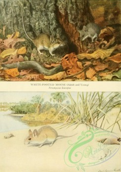 mammals_full_color-00701 - White-footed Mouse, Beach Mouse