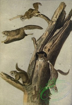 mammals_full_color-00705 - Flying Squirrel