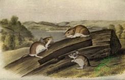 mammals_full_color-00715 - White-footed Mouse