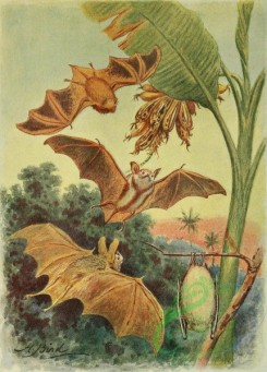 mammals_full_color-00726 - CURIOUSLY-COLOURED BAT
