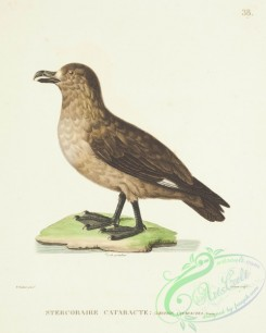 marine_birds-00435 - Great Skua