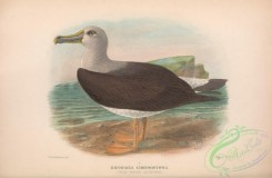 marine_birds-00728 - 030-Flat-billed Albatros, diomedea chrysostoma