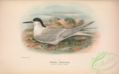 marine_birds-00740 - 042-White-fronted Tern, sterna frontalis