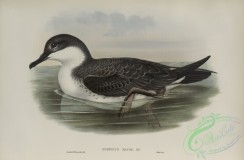 marine_birds-00912 - 606-Puffinus major, Great Shearwater
