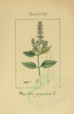 mint-00009 - mentha piperita [2089x3197]