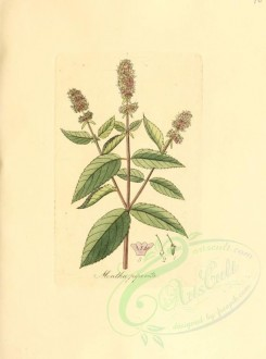 mint-00012 - mentha piperita [2099x2825]