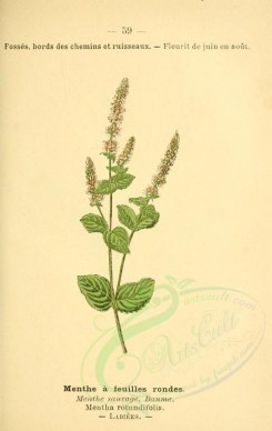 mint-00014 - mentha rotundifolia [1860x2943]