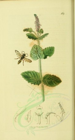 mint-00016 - 269-Round-leaved Mint, mentha rotundifolia [1918x3561]