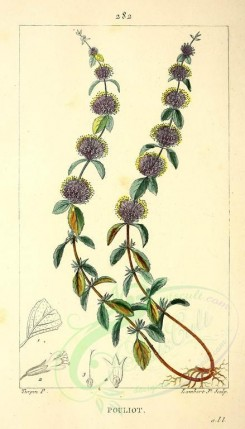 mint-00025 - Pennyroyal Mint [2055x3589]