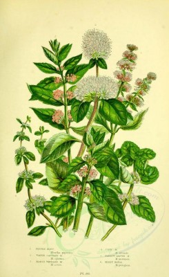 mint-00028 - 007-Pepper Mint, Water Capitate Mint, Marsh Whorled Mint, Corn Mint, Narrow leaved Mint, Penny Royal, mentha piperita, mentha aquatica, mentha sativa, mentha arvensis, mentha prate [2193x3577]