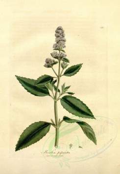 mint-00031 - mentha piperita [2589x3754]