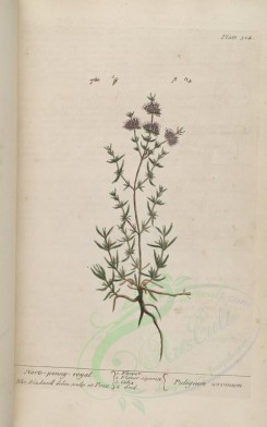 mint-00034 - Harts-penny-royal, pulegium cervinum [3286x5256]