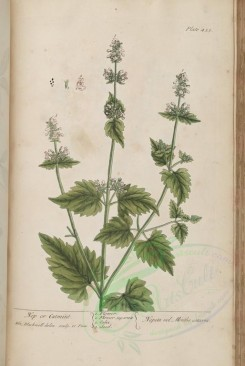 mint-00037 - Nep or Catming, nepeta vel mentha cataria [3400x5072]