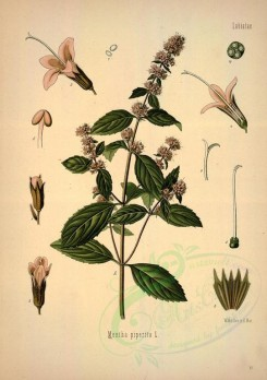 mint-00043 - mentha piperita [2795x3965]