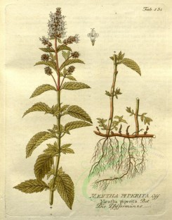 mint-00047 - mentha piperita [2585x3290]