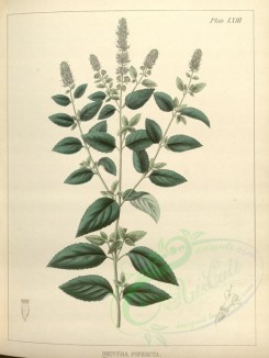 mint-00056 - mentha piperita [3868x5134]