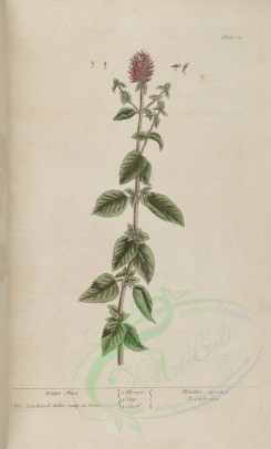 mint-00057 - Water Mint, mentha aquatica, sisymbrium [3201x5303]