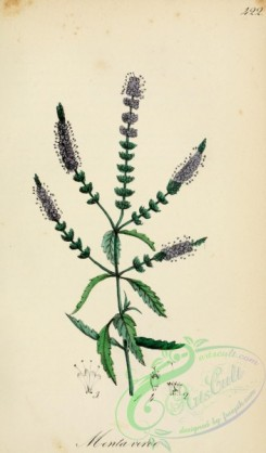 mint-00058 - mentha aquatica