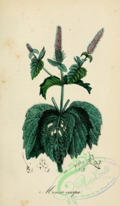 mint-00060 - mentha piperita