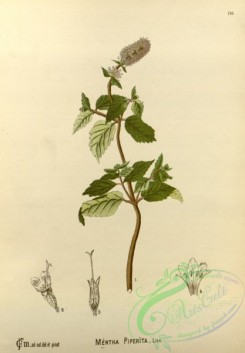 mint-00063 - mentha piperita