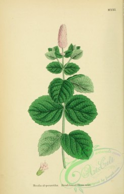 mint-00067 - Broad-leaved Horsemint, mentha alopecuroides