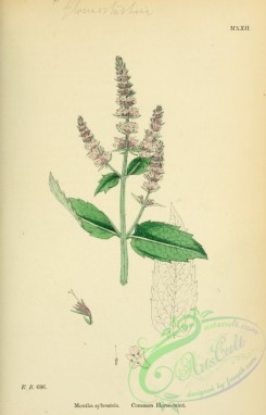 mint-00070 - Common Horsemint, mentha sylvestris